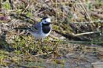White-Pied Wagtail (Motacilla alba)